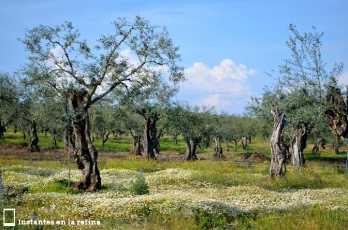 DSC_0118 olivos entre margaritas