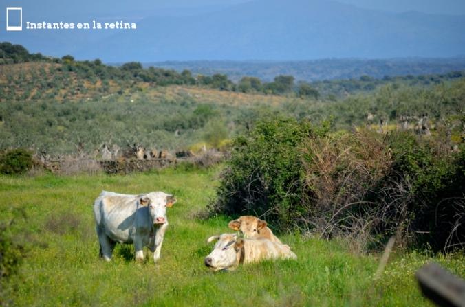 DSC_0123 vacas