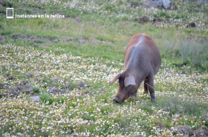 DSC_0174 cerdo